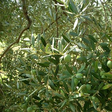 Olive_Prodotti