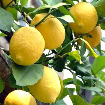 limoni-web